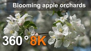 360°, Blooming apple orchards. Moscow, Kolomenskoye. 8K video